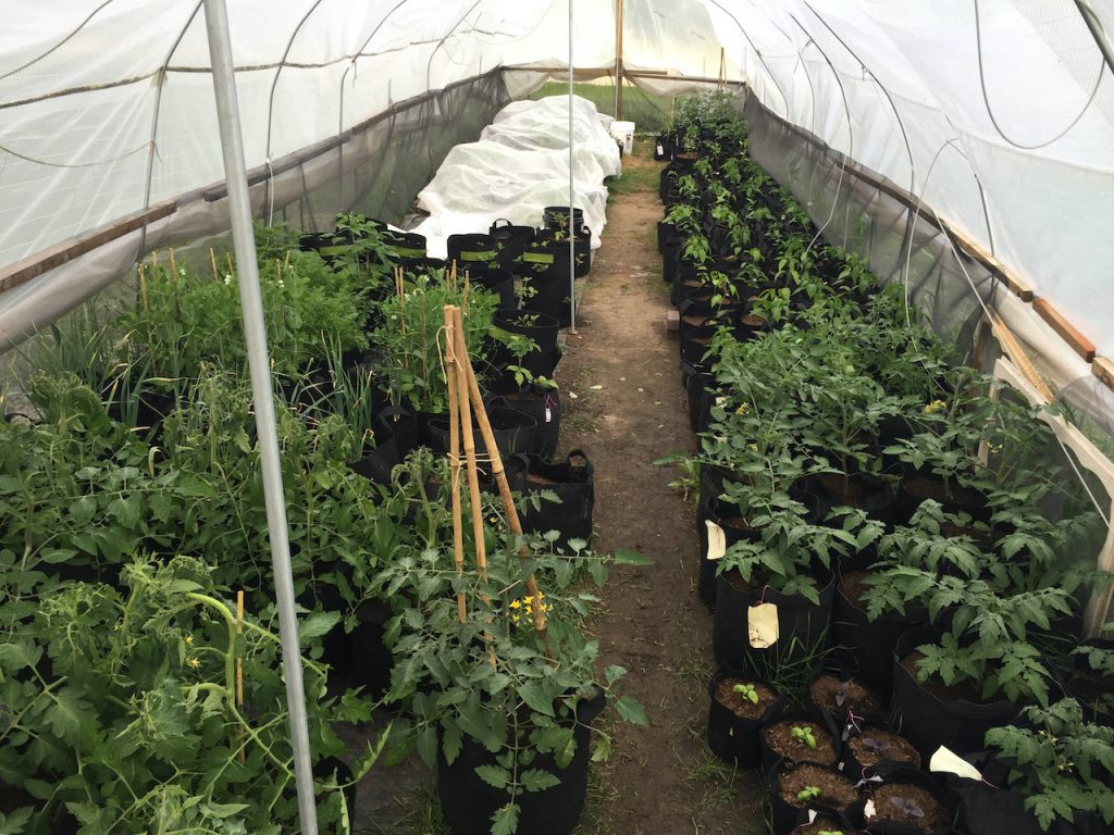 Photo of the inside of a unheated hoop house showing MEG's Edible Grow Bags featuring tomatoes, jalapeños, herbs, basil, carrots, beans, sugar snap peas